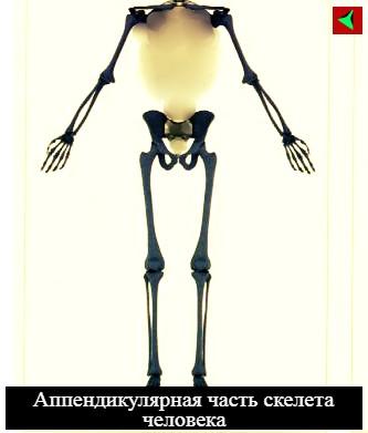 skolko-kostej-v-tele-cheloveka-vzroslogo